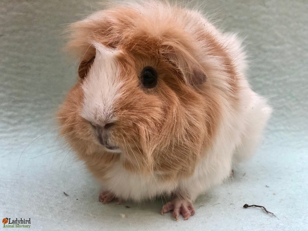 b82e9a08 STATUS: Adopted AGE AT ARRIVAL: Adult ARRIVAL DATE: March 12th, 2019  ADOPTION DATE: March 25th, 2019 SPECIES: Guinea pig BREED: GENDER: Female