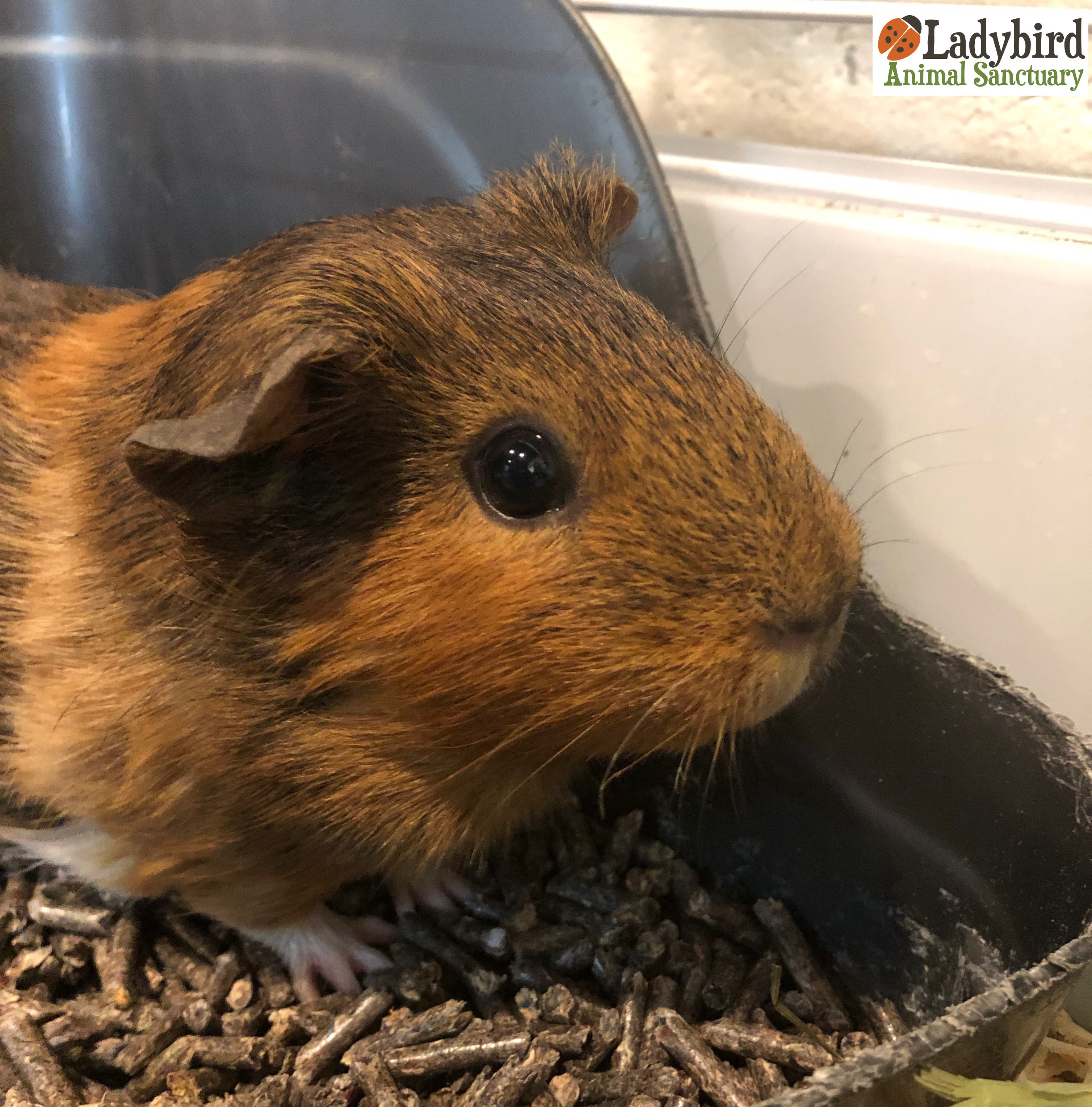 473f8f0f STATUS: Available Soon AGE AT ARRIVAL: Approximately 8 months old ARRIVAL  DATE: April 17th, 2019 SPECIES: Guinea pig BREED: GENDER: Female NOTES: